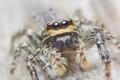 'Fencepost' Jumping Spider