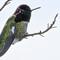 Hummingbird Portrait-