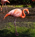 Flamingo In Sea World