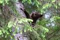 Cub up a Tree