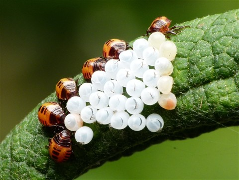 Brown Marmorated Stink Bug Nymphs and Eggs