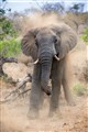Young African Elephant Bull Charging