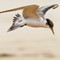 Crested Tern 16