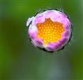 bellis perennis- daisy lo res