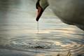 A swan sips ...