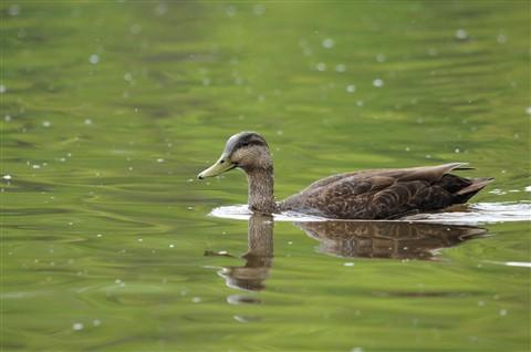 Oiseaux au parc des Iles de la Visitation Mai 2010 85
