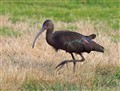Ibis, Oceanside California
