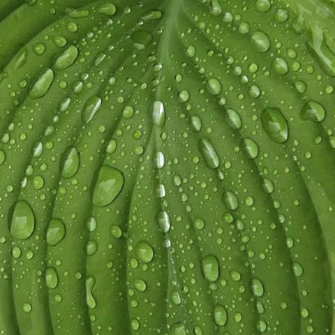 Rain on Hosta