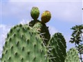 sweet juicy cactus pear - reach for it ...