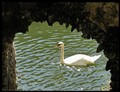 Swan in Collodi