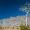 everglades cypress trees in winter 7492