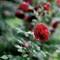Palmengarten_roses_2