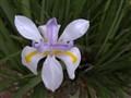 Dew on Fairy Iris