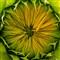 Sleeping sunflower