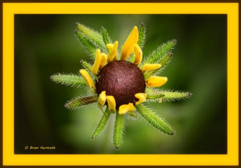 Black-eyed-susan (probably Rudbeckia hirta - Asteraceae) opening