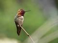 A male Allen's Hummingbird.