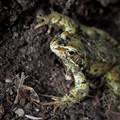 Three Frog
