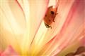 Hiding Ladybug.
