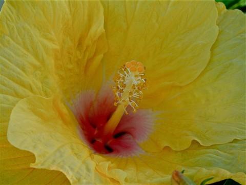 Hibiscus 025