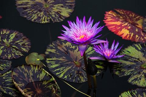 Purple Blaze_sm