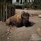 50 Summilux-SL_bison-1