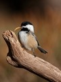 The Snack -A Black capped Chickadee