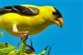 Yellow Finch with Sun Flower seed