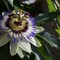 Passion-Flower-Focus-Stack