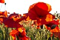 Red poppies against the sun
