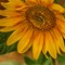 2-Sunflower-AliceBurghart.jpg