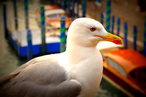 Gull in Venice