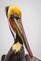 Male Pelican-8892