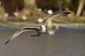 Gull landing in London's Regent's Park.