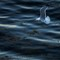 Gulls after lobster scraps-4