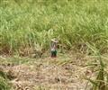 Lone Cane Cutter