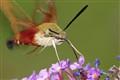 Hawkmoth on Feeding Approach