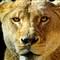 Lion_Panorama1