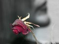 (10y) Old Rose