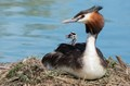 Australasian Crested Grebe on nest with chick - DPR - Birds