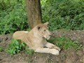 Lioness waiting