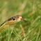 Garder Snake, DSC_8325
