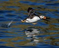 Atlantic Puffin getting airborne from the surface of the sea.