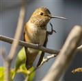 Hummingbird Friday: Just a scratch!