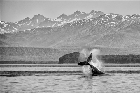 Tail Lobbing Humpback Whale in Icy Strait, Alaska