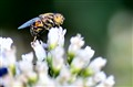 bumbos bee