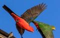 King parrots_9509