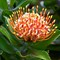 Protea - Hawaii