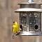 goldfinch#