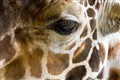 Giraffe Close Up and Personal
