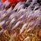 Pompas Grass